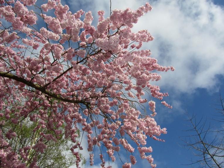 arbre rose 05